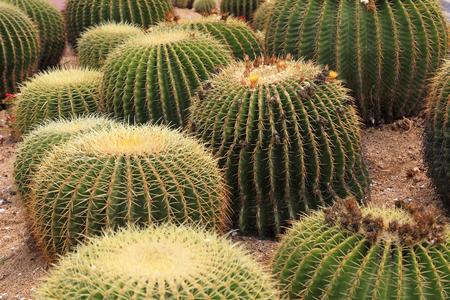 Cactus plants Echinocactus