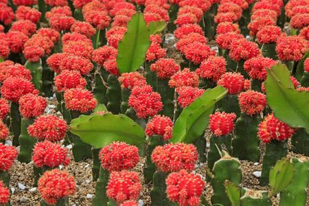 Cactus plants in the nursery