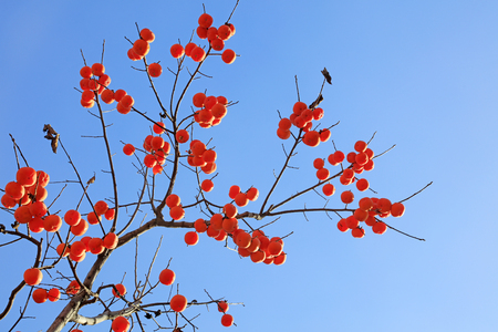 Persimmons under the blue sky Stock Photo