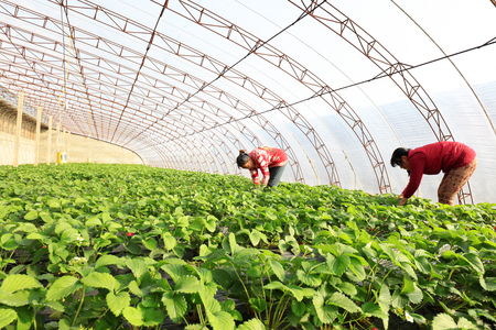 Luannan County - December 20, 2017: women workers busy in the strawberry sheds, Luannan, Hebei, China, China Editorial
