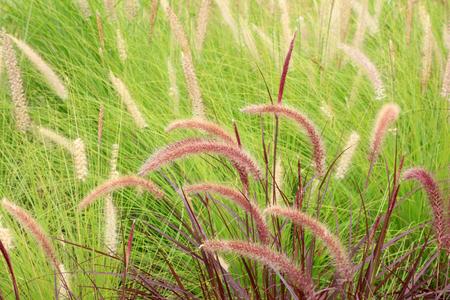 Oriental Pennisetum in nature