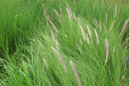 Chinese pennisetum in the park Stock Photo