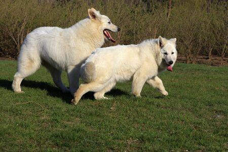 White German Shepherd Imagens