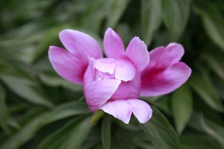 Paeonia lactiflora Pall in botanical garden