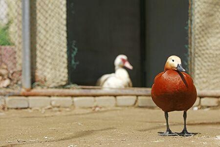Ruddy Shelduck in the zoo Фото со стока