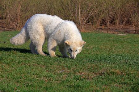 White German Shepherd Banco de Imagens