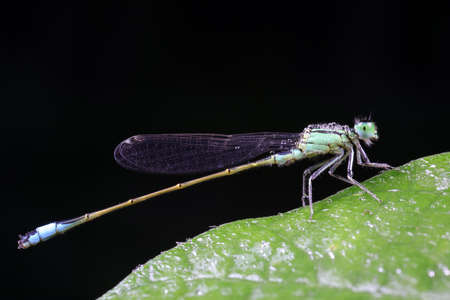 Damselflies perch on green leaves