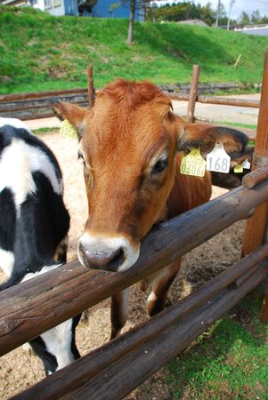 Close-up of dairy cow and wooden fence Stock Photo