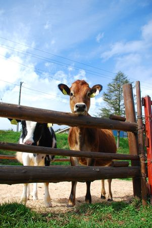 Close-up of two dairy cow and wooden fence
