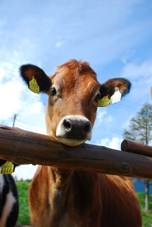 Close-up of two dairy cow and wooden fence photo