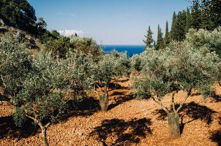 Greece. Zakynthos. Island landscape. Olive grove. Green large trees grow in a rocky area