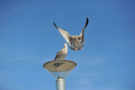 Adult common gulls fly in Rome, one gull stands on a lamp, the second flies at her