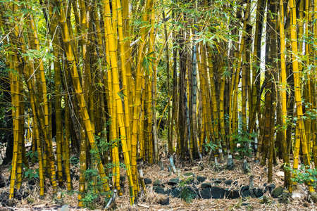bamboo trees growing in a botanical garden on the island of Mauritius. Banque d'images