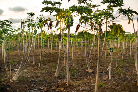 Plantations with papaya trees on the island of Mauritius in Africa.