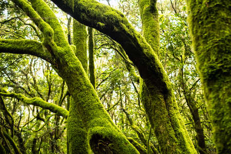 Garajonay National Park, laurel forest, laurisilva, La Gomera, Canary Islands Spain