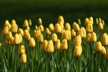 Tulips with green background