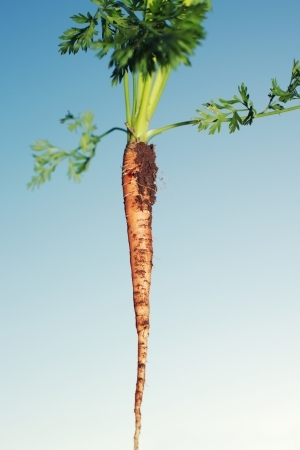 Freshly pulled carrot covered in earth from the garden with its leaves against a blue sky