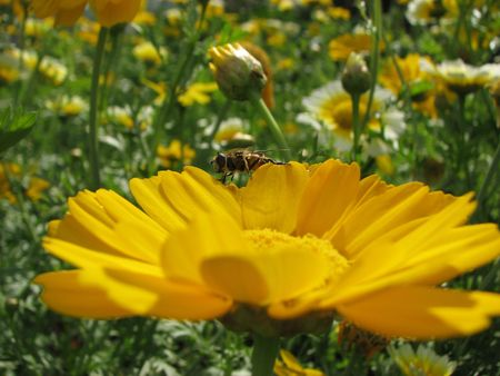 a bee on the bright yellow camomile Stock Photo - 1827739