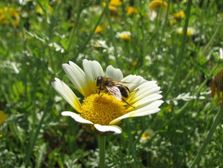 a bee on the lonely yellow-white camomile Stock Photo - 1883952