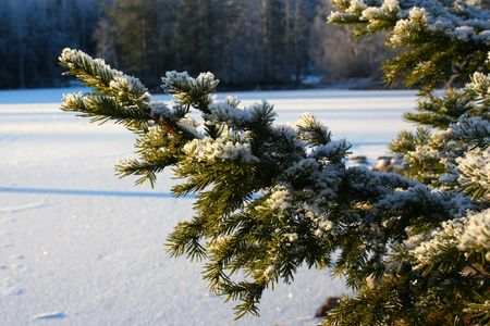 fir branches on the sunny snow landscape