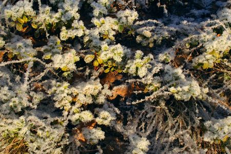 bilberry-bushes under the snow on the sunlight