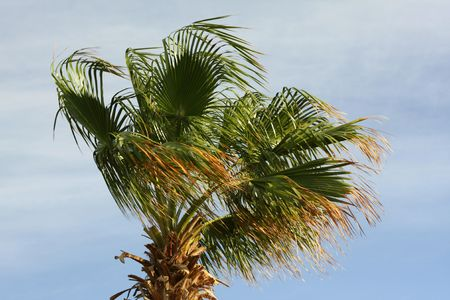 top of the palm in the summer wind Stock Photo