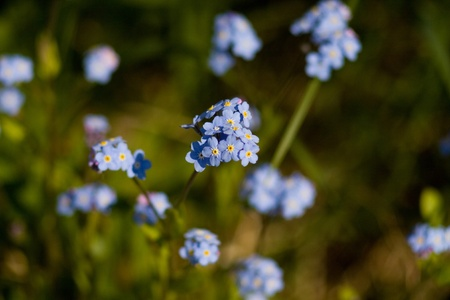 a bunch of little blue flowers forget-me-not Stock Photo