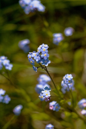 a bunch of little blue forget-me-not flowers Stock Photo