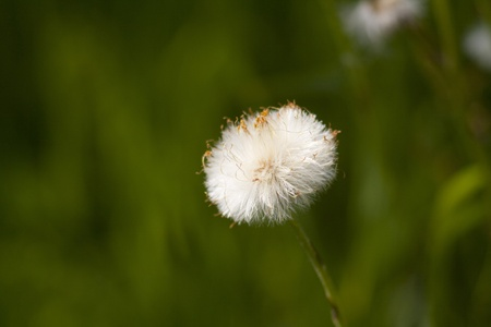 a white and fluffy medical Taraxacum offitsinale