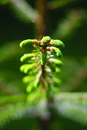 a pine branch with the young buds