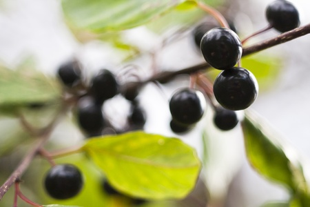 black wild berry hanging on a branch