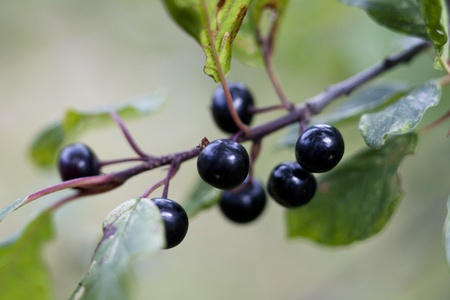 black wild cherry fruit hanging on a branch Stock Photo