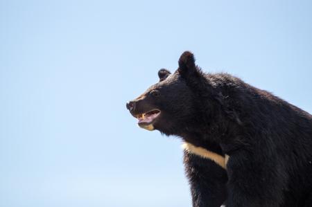 Angry himalayan bear at the sunny day Stock Photo