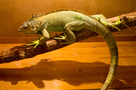 Gray lizard sits on wood in the terrarium Stock Photo