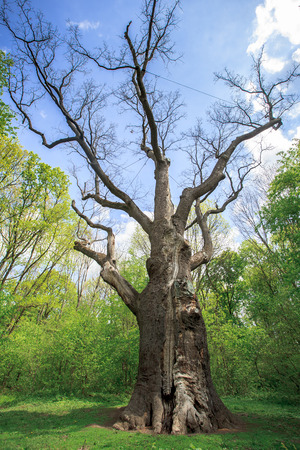 natural landmark: Millennium old dry oak on the background of green trees
