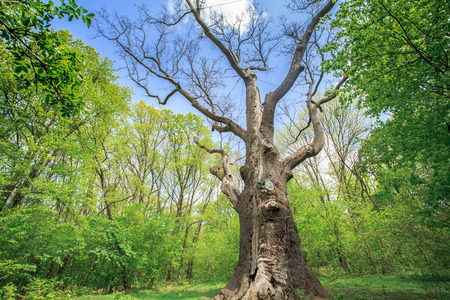 huge tree: Millennium old dry oak on the background of green trees