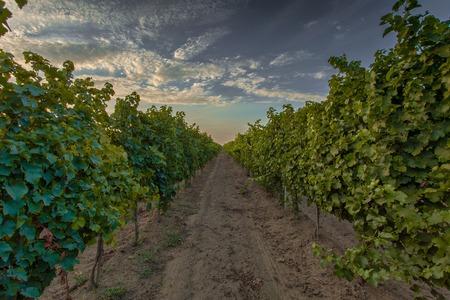 farm field: Vineyard at sunset HDR tonemapped Ukraine