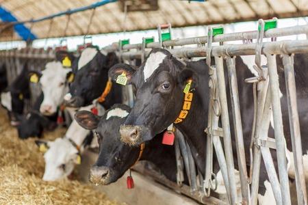 Dairy milk cows in a farm Stock Photo - 80755404
