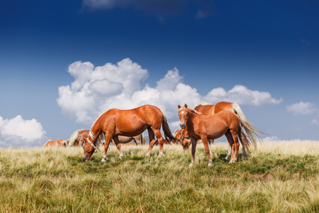 herd of horses on mountains meadow landscape cloud