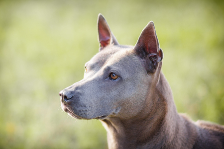 Thai Ridgeback on walk in the green park