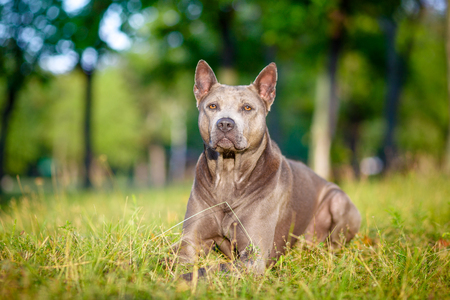 Thai Ridgeback dog is standing on the green grass Stock Photo