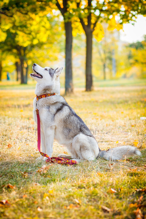 Siberian Husky is sitting on the field in a frosty morning. The grass is covered with hoarfrost. Stock Photo