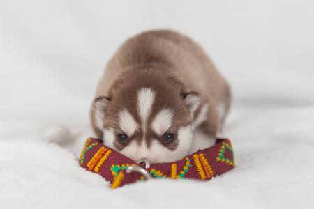 siberian husky puppy with a collar, equipment isolated