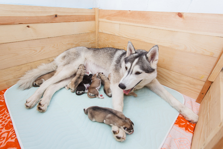 Husky mom and her puppies new born