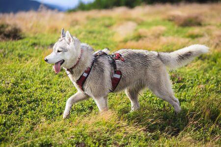 Siberian Husky in ammunition alone