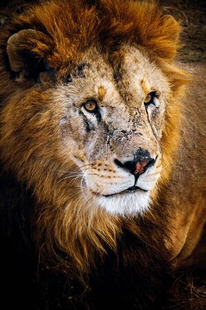 the Lion Stock fotó