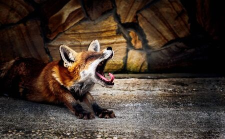 the Fox Stock fotó
