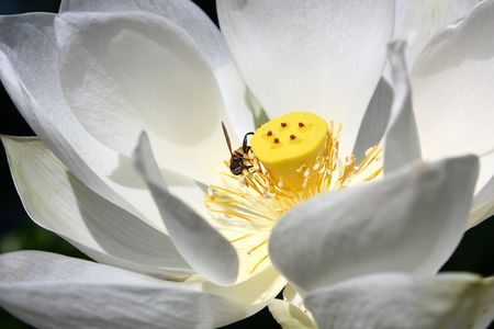 A white bloom lotus with a small bee. photo