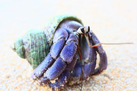 Close up color picture of hermit crab crawling through white sandy beach. 版權商用圖片