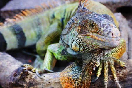 Detailed shot of an Big iguana Lizard Stock Photo - 6979878